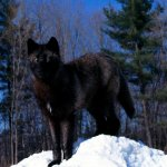 ذئب ، ذئاب  Size:300.00 Kb Dim: 1600 x 1200