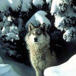 ذئب ، ذئاب  Size:200.50 Kb Dim: 1600 x 1200