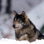 ذئب ، ذئاب  Size:180.90 Kb Dim: 1600 x 1200