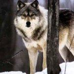 ذئب ، ذئاب  Size:282.70 Kb Dim: 1600 x 1200