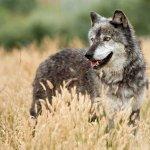 ذئب ، ذئاب  Size:168.50 Kb Dim: 0 x 0