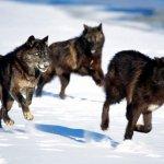 ذئب ، ذئاب  Size:264.00 Kb Dim: 1600 x 1200