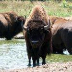 جاموس buffalo Size:423.90 Kb Dim: 1600 x 1200