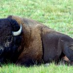 جاموس buffalo Size:282.90 Kb Dim: 1600 x 1200