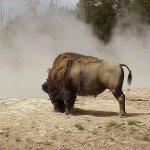 جاموس buffalo Size:74.50 Kb Dim: 1024 x 768