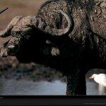 جاموس buffalo Size:170.40 Kb Dim: 1024 x 768