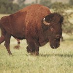 جاموس buffalo Size:125.00 Kb Dim: 1024 x 768