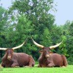جاموس buffalo Size:196.50 Kb Dim: 1024 x 768