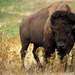 جاموس buffalo Size:127.70 Kb Dim: 1024 x 768