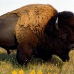 جاموس buffalo