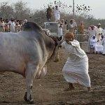 ثور bull Size:83.40 Kb Dim: 580 x 313