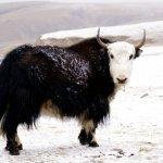 ثور bull Size:37.60 Kb Dim: 500 x 430