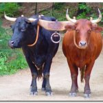 ثور bull Size:39.80 Kb Dim: 414 x 314