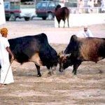 ثور bull Size:33.50 Kb Dim: 384 x 265