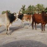 ثور bull Size:74.80 Kb Dim: 827 x 553