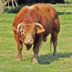 ثور bull Size:612.10 Kb Dim: 1984 x 1488