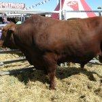 ثور bull Size:869.80 Kb Dim: 1964 x 1386