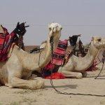 جمل camel Size:116.30 Kb Dim: 1024 x 768