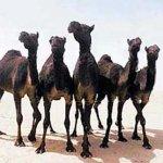 جمل camel Size:33.70 Kb Dim: 450 x 321