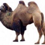 جمل camel Size:72.70 Kb Dim: 1024 x 768