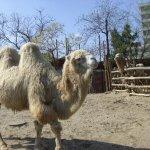 جمل camel Size:64.00 Kb Dim: 550 x 412