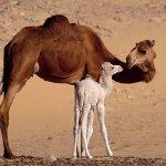 جمل camel Size:75.80 Kb Dim: 1024 x 768