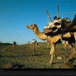 جمل camel Size:222.50 Kb Dim: 1024 x 768