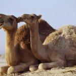 جمل camel Size:118.40 Kb Dim: 1024 x 768