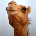 جمل camel Size:63.40 Kb Dim: 1024 x 768
