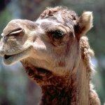 جمل camel Size:105.20 Kb Dim: 1024 x 768