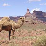 جمل camel Size:264.40 Kb Dim: 1024 x 768