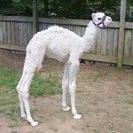 جمل camel Size:38.00 Kb Dim: 400 x 368