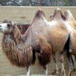 جمل camel Size:191.00 Kb Dim: 800 x 600