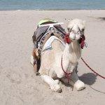 جمل camel Size:101.50 Kb Dim: 500 x 375