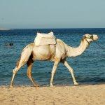جمل camel Size:1458.50 Kb Dim: 2864 x 1904