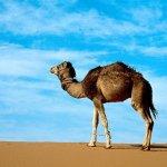 جمل camel Size:128.40 Kb Dim: 1024 x 768