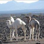 جمل camel Size:91.70 Kb Dim: 877 x 568