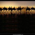 جمل camel Size:140.80 Kb Dim: 1024 x 768