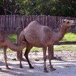 جمل camel Size:176.40 Kb Dim: 500 x 333