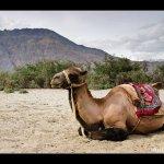 جمل camel Size:146.00 Kb Dim: 500 x 385