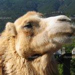 جمل camel Size:355.40 Kb Dim: 1024 x 768