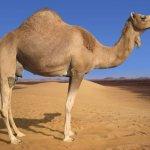 جمل camel Size:86.40 Kb Dim: 1024 x 768