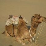 جمل camel Size:98.10 Kb Dim: 1024 x 768