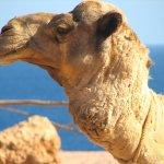 جمل camel Size:146.90 Kb Dim: 1024 x 768