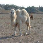 جمل camel Size:111.70 Kb Dim: 1024 x 768