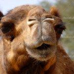 جمل camel Size:289.00 Kb Dim: 1024 x 768