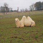جمل camel Size:157.80 Kb Dim: 500 x 375