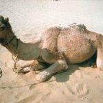 جمل camel Size:50.00 Kb Dim: 1024 x 768