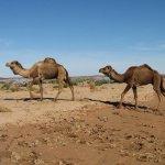 جمل camel Size:120.10 Kb Dim: 1024 x 768