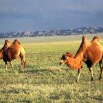 جمل camel Size:63.00 Kb Dim: 600 x 450